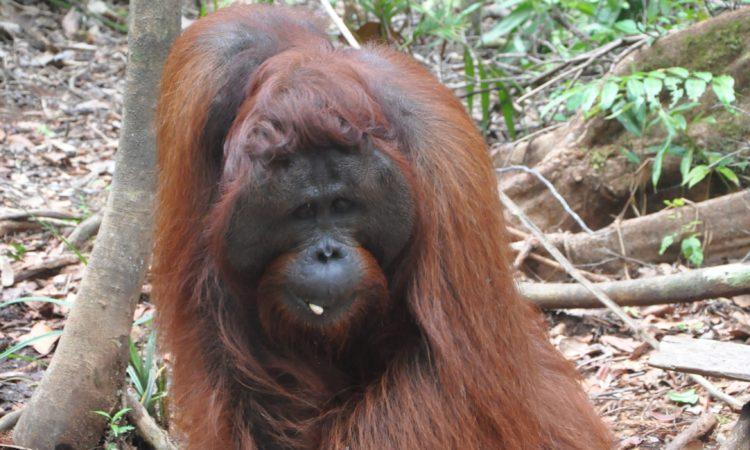 Amerika Serikat, Indonesia dan Yayasan BOS Lepasliarkan Empat Orangutan yang Telah Direhabilitasi di Taman Nasional Bukit Baka Bukit Raya